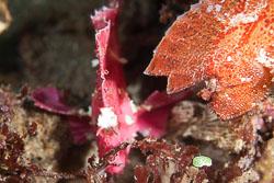 BD-161030-Pura-4110-Taenianotus-triacanthus.-Lacepède.-1802-[Leaf-scorpionfish].jpg